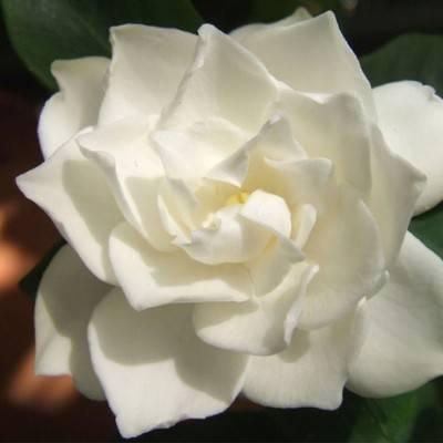 Wedding Flower Inspiration: Gardenia