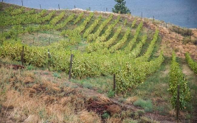 vineyard wedding bc