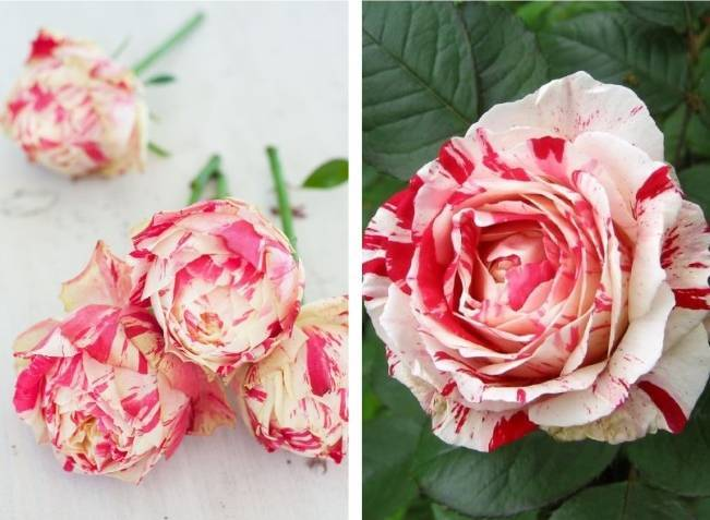 Peppermint Roses - Striped Roses