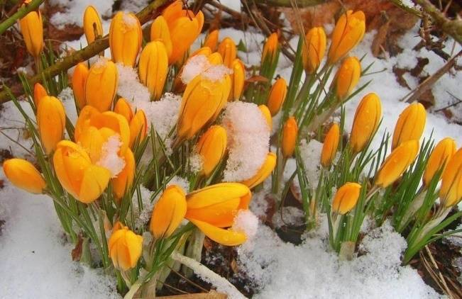 05439877b One of the most joyful sights of spring is finding a cluster of crocuses  blooming happily in a patch of snow. It s no wonder